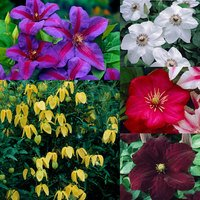 5 Clematis Collection