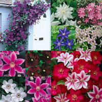3 Clematis Mixed