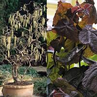 2 Corylus Collection
