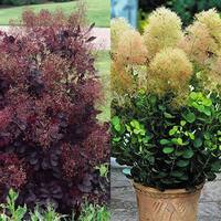 2 Cotinus Collection