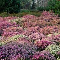 6 Winter Heathers Mixed (Erica)