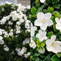 2 Gardenia Collection