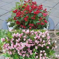 2 Weigela Collection