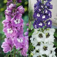 6 Delphinium Magic Collection