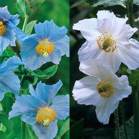 Meconopsis Betonicifolia Collection
