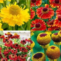 4 Helenium Collection