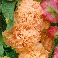 Double Hollyhocks Apricot