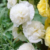 Double Hollyhocks White (alcea)