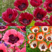 3 Papaver Collection (Oriental Poppies)