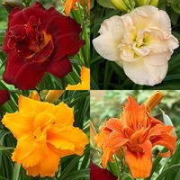 4 Hemerocallis Double Collection