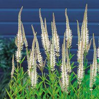 3 Veronicastrum Virginicum Album