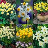 150 Dwarf Rockery Narcissi Collection