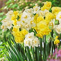 30 Daffodil Cheerfulness Mixed