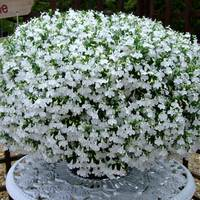 6 Lobelia California White
