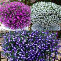 Lobelia California Collection