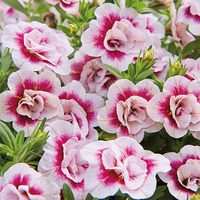 6 Calibrachoa Double Can Can Pink