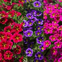 6 Calibrachoa Starlight Collection
