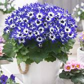 6 Senetti Bi-Colour Blue