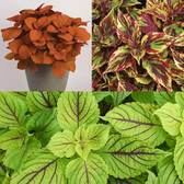 6 Coleus Collection