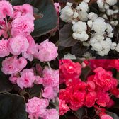 Begonia Semperflorens Doublet Collection