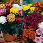 6 Chrysanthemum Mixed