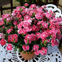 6 Dianthus Patio Devine Bicolour Pink Improved