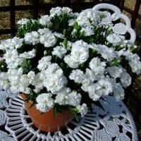 Dianthus Patio Devine Clear White