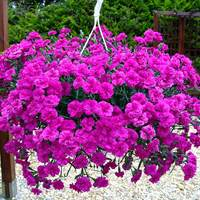 6 Dianthus Patio Devine Neon Purple