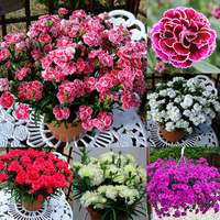 18 Dianthus Patio Devine Collection