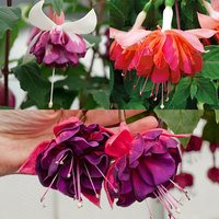 6 Fuchsia Giant Marbella Collection