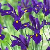 Iris Dutch Blue Pearl 7/8cm