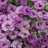 Calibrachoa Double Can Can Dark Lavender