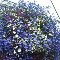 6 Lobelia California Mixed