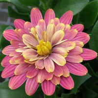 6 Osteospermum Double Fun Pink Bi-Colour