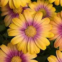 6 Osteospermum Serenity Blushing Beauty