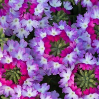 6 Verbena Sparkle Purple Blues