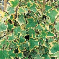 6 Hedera Gold Child