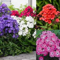 15 Phlox paniculata Collection