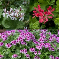 6 Geranium Scented Collection