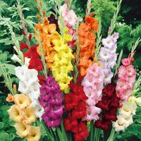 25 Gladioli Large Flowering Mix 12cm+