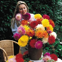 Dahlia Cactus and Decorative Mixed