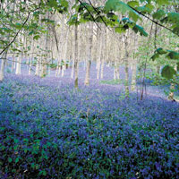 15 English Bluebells