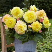 3 Begonia Superba Yellow