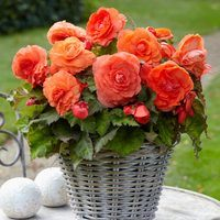 3 Begonia Superba Salmon