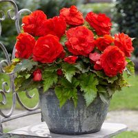3 Begonia Superba Red