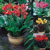 4 Canna Patio Collection