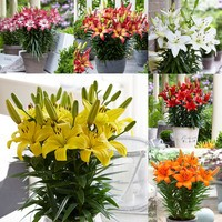 30 Lily Joy Collection (Dwarf Pot)
