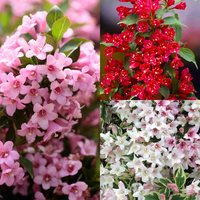 3 Weigela Dwarf Ornamental Collection