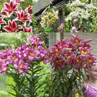 15 Goliath OT Lilium Collection
