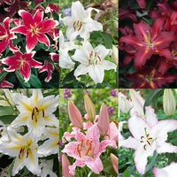 30 Giant Oriental Lilium Collection
